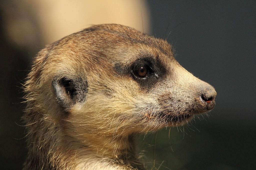 Meerkat, Kenya, minnigolf